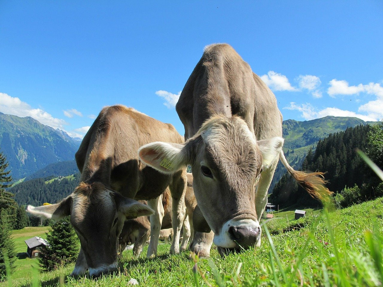 ■IoTセンサーの活用によって牛の行動を見守る|人工知能を搭載した製品・サービスの比較一覧・導入活用事例・資料請求が無料でできるAIポータルメディア